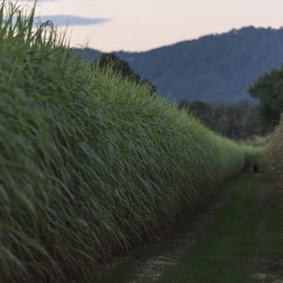 Sugarcane fields print Australia roadtrip Murwillambah Queensland