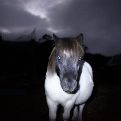 Australian Husky pony Swifts Creek Artist haunted white pony