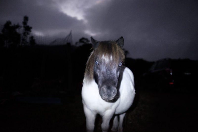 Australian Husky pony Swifts Creek Artist haunted white pony